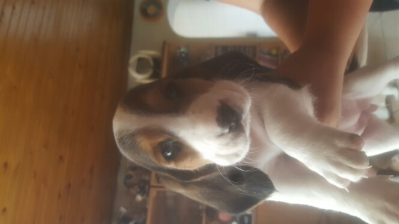 bassett puppies for sale