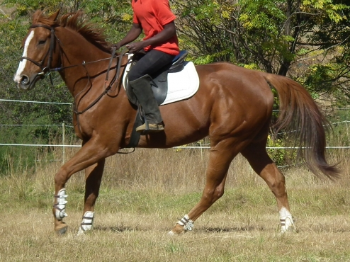 Stunning tb gelding ideal for nervous rider