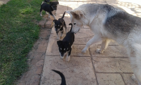 huskeycrossswissshepherdpuppies