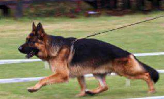 Registered German Shepherd puppies for sale.