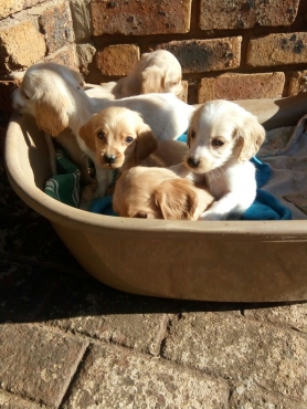 Cocker Spaniel Puppies