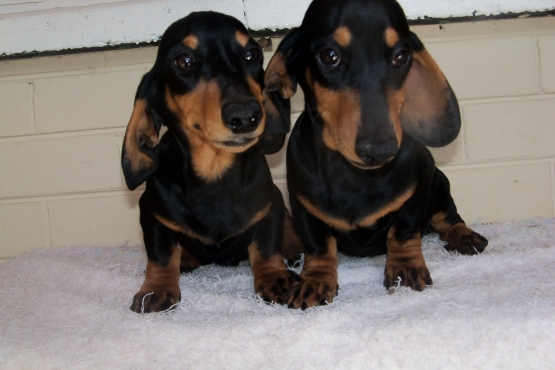 Lovely Dachshund male puppies for sale