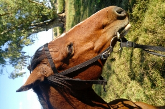 Boerperd Mare For Sale