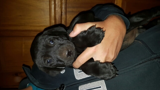 Female Labrador X puppies