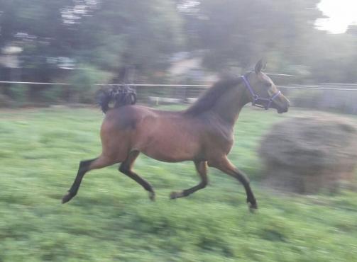 Stunning Arabian mare