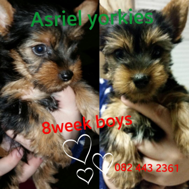 Cute Yorkie Male puppies
