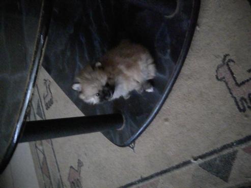 Toypom puppy