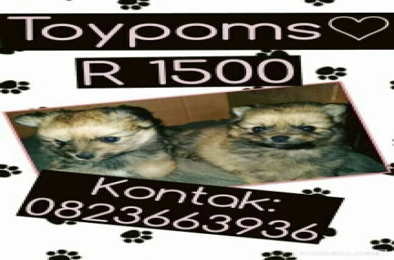 Toy poms