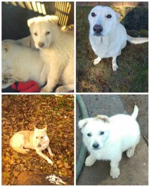 white sheperd puppies
