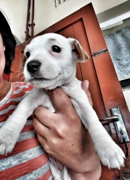 JACK RUSSEL puppies for sale