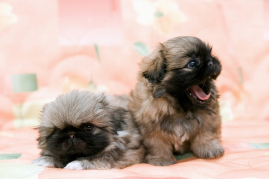 PEKIGANESE PEDIGREE PUPPIES FOR SALE