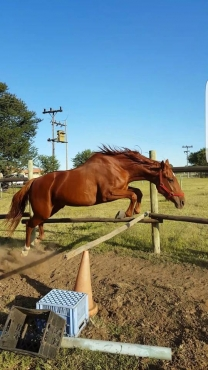 Large cross breed mare