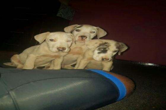 Great Dane pups