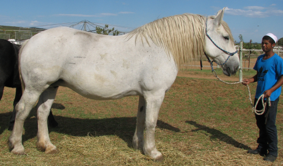 stunning big percheron mare