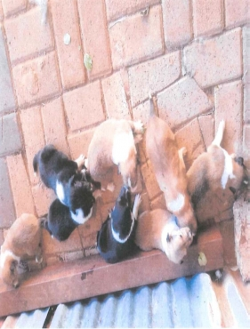 Rough / Lassie collie puppies for sale