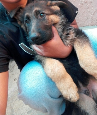 Gorgeous Registered German Shepherd Puppies
