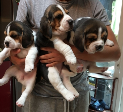 Tri-Colored Beagle Puppies