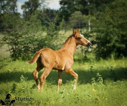 Warmblood colt for sale, Mythos Aries