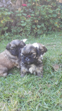 pickenges pups for sale