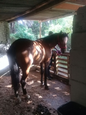 A beautiful 7 year old Boerperd X gelding
