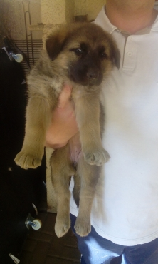 Beautiful pure bred German Shepherd puppies for sale