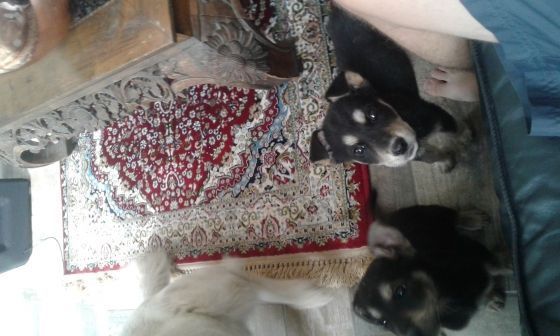 huskey cross swiss shepard puppies