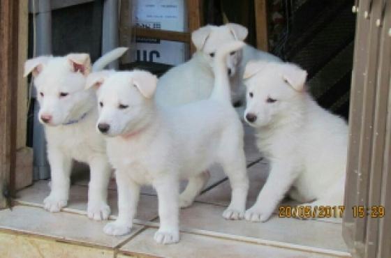 Pure bred white swiss shepherds