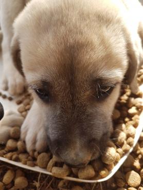 Anatolian shepherd dog / puppies Anatoliese herdershondjies