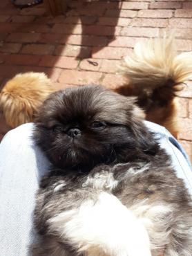 Pekignese puppy