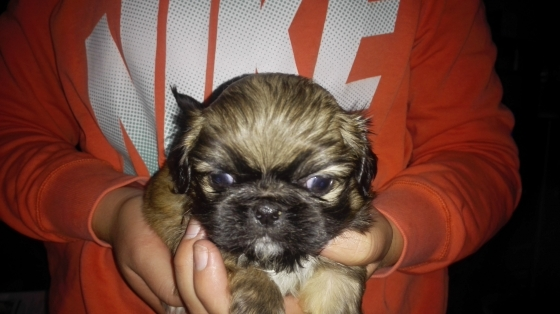 pikengese pups for sale/ pikengese hondtjies te koop