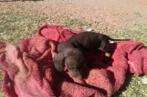 Duchshund/worshond