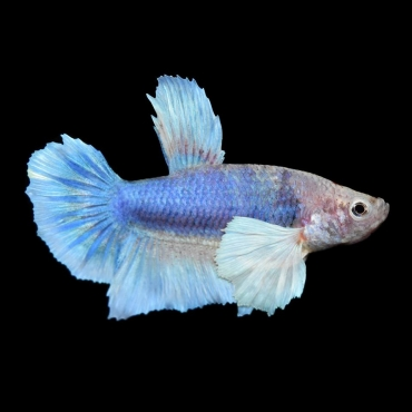 Imported Male Betta Fish