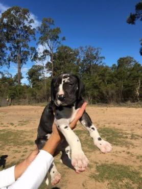 Pure Bred Great Dane Puppies.Full pedigree.