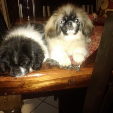 16 weeks Pekingese Puppies