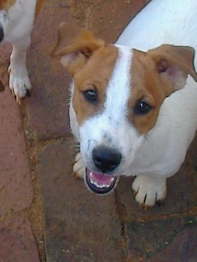 Jack Russell 8w well bred short legs pups R2999