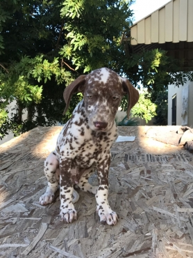 STUNNING Liver Spot Dalmatian Puppies !!!ONLY TWO LEFT!!!