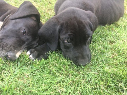Purebred Great Dane Puppies