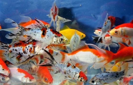 Imported Goldfish