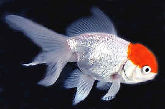 Oranda Goldfish Mix