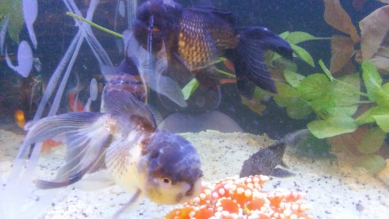 Imported Tri Color Panda Goldfish