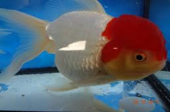 Large Oranda Red Cap Lionhead Goldfish