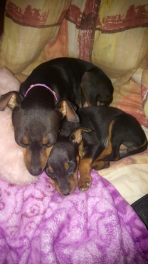 Beautiful Miniature Doberman Pincher Puppies