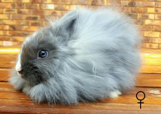 Jersey Wooly Dwarf Angora Rabbits