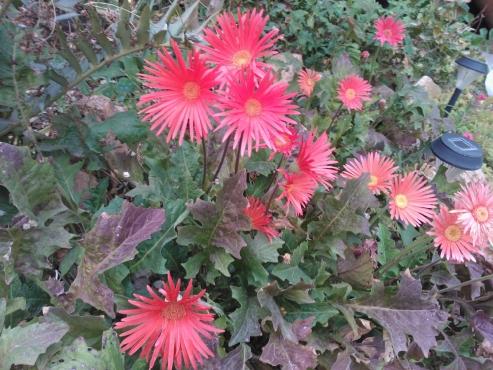 Barbeton daisies. Gerbera Jamesonni