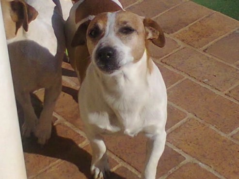 Cute Jack Russell 8 week thorough bred short leg white and tan puppies for sale R1997
