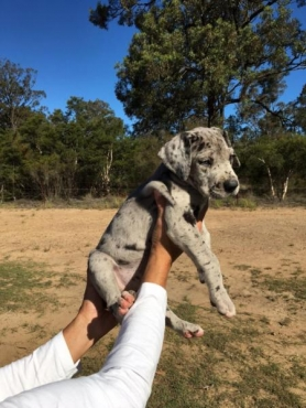 Pure Bred Great Dane Puppies.Full pedigree.