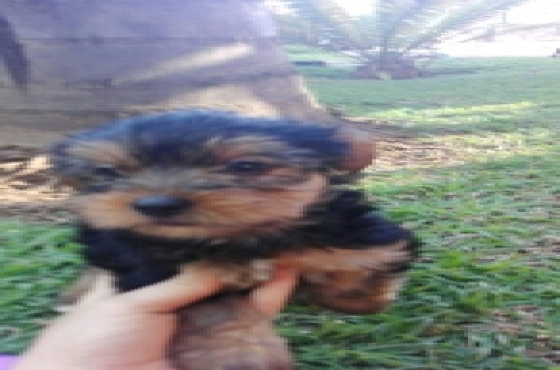 3 x Male black and tan Yorkies for sale