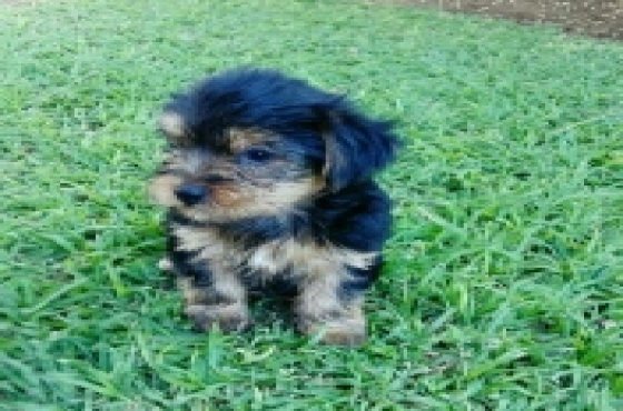 3 x Female black and tan yorkies for sale