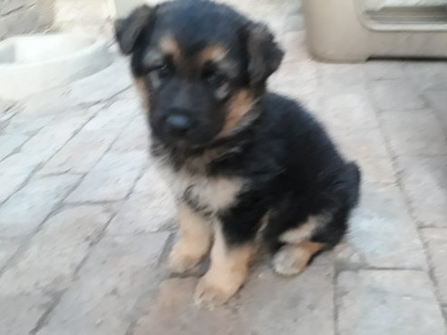 Female German Shepherd puppy