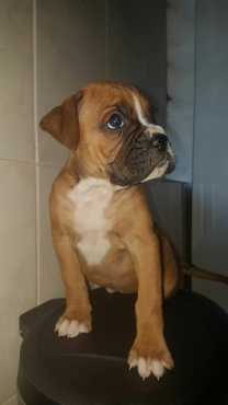 Boxer male and female